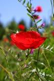 czerwony makowa Zdjęcia Royalty Free