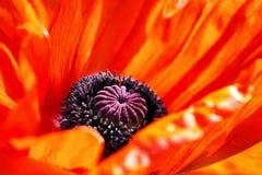Czerwony makowy kwiat Zdjęcie Stock