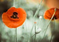 Czerwony makowy kwiat Obraz Stock