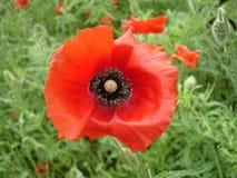 Czerwony makowy kwiat i pączek Obrazy Royalty Free