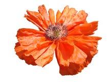 Czerwony makowy kwiat na białym tle Obrazy Stock