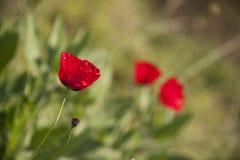 Czerwony makowy kwiat na zamazanym tle w górę obrazy stock
