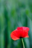 Czerwony makowy kwiat na zielonym naturalnym tle Fotografia Royalty Free
