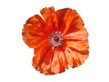 Czerwony makowy kwiat w białym tle Obraz Stock