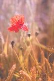 Czerwony makowy kwiat w dojrzałym pszenicznym polu Projektów kolory Fotografia Stock