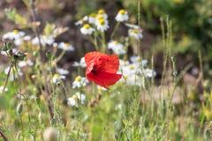 Czerwony Makowy kwiat w ostrości Zdjęcie Stock