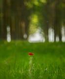 czerwony makowy kwiat w topolowego drzewa lesie Zdjęcie Stock