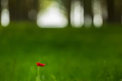 czerwony makowy kwiat w topolowego drzewa lesie Obrazy Royalty Free