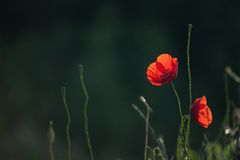 Czerwony Makowy kwiat Z Ciemnozielonym tłem Zdjęcia Royalty Free