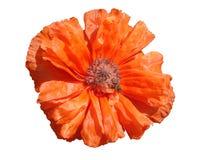 Czerwony makowy kwiat z pszczołą na białym tle Obraz Stock