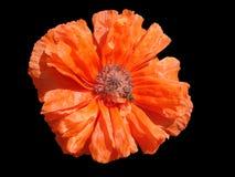 Czerwony makowy kwiat z pszczołą na czarnym tle Zdjęcia Stock