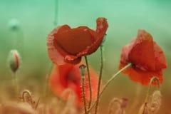 Czerwony makowy kwiatu pola zakończenie up Czerwony maczek na zieleni świrzep polu Zdjęcia Royalty Free