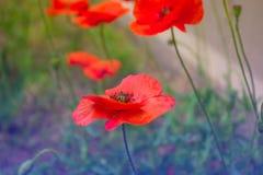 Czerwony makowy kwiatu pole, zamyka up Fotografia Royalty Free