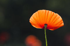 Czerwony makowy płatek backlit Zdjęcie Royalty Free