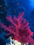 Czerwony miękki koral przy Habili Ali, St John rafy, Czerwony morze, Egipt zdjęcia royalty free