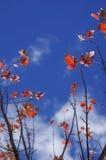 Czerwony Momiji z niebieskim niebem przy Grampians parkiem narodowym, jesień Australia Fotografia Stock