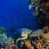Czerwony morze nurkuje dużego dennego żółwia obsiadanie między koralami Fotografia Stock