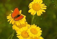 Czerwony motyl na żółtych kwiatach zdjęcie stock
