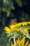 Czerwony motyl na słoneczniku Fotografia Royalty Free