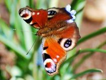 czerwony motylia Zdjęcia Stock