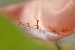 Czerwony mrówek stać twarz w twarz na liściu Fotografia Royalty Free