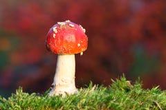 czerwony muchomor Zdjęcia Royalty Free
