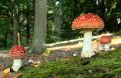 Czerwony Muchomor (Amanitamuscariaen) Arkivbild