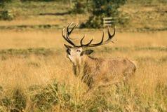 czerwony na jelenie hart zdjęcie stock