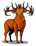 czerwony na jelenie ryczący Obraz Royalty Free