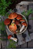 Czerwony nakrętka borowik na drewnianym tle Brown dzikie pieczarki Jadalny grzybowy Leccinum Aurantiacum zbierał w lasowym Surowy Fotografia Stock