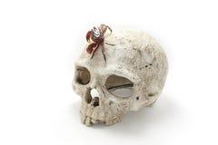 Czerwony Namorzynowy krab na Ludzkiej czaszce ODIZOLOWYWAJĄCEJ zdjęcie royalty free