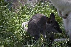 Czerwony necked wallaby joey fotografia royalty free