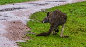 Czerwony necked wallaby od plecy, kangur od Australia zdjęcie royalty free