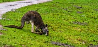 Czerwony necked wallaby pasanie w trawie, kangur od Australia fotografia stock