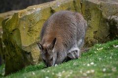 Czerwony necked wallaby pasanie w trawie fotografia royalty free