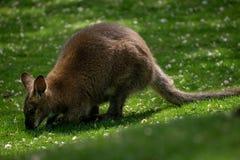 Czerwony necked wallaby pasanie w trawie obrazy stock