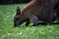 Czerwony necked wallaby pasanie w trawie zdjęcia stock