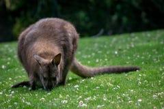Czerwony necked wallaby pasanie w trawie obraz royalty free
