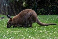 Czerwony necked wallaby pasanie w trawie zdjęcia royalty free