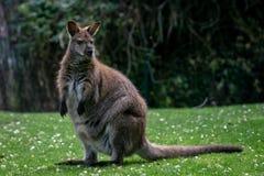 Czerwony necked wallaby pasanie w trawie obrazy royalty free