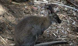 Czerwony necked wallaby przeglądać od strony zdjęcie royalty free