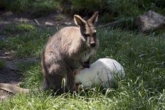 Czerwony necked wallaby z jej joey joey zdjęcie royalty free