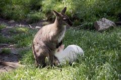 Czerwony necked wallaby z jej joey obrazy stock