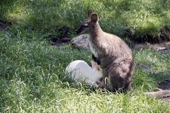 Czerwony necked wallaby z jej joey zdjęcia stock