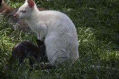 Czerwony necked wallaby z jej joey obraz stock