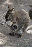 Czerwony necked wallaby z jej joey fotografia stock