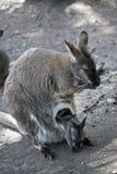 Czerwony necked wallaby z jej joey fotografia royalty free