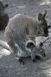Czerwony necked wallaby z jej joey zdjęcie stock
