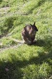 Czerwony necked wallaby z joey obraz royalty free