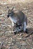 Czerwony necked wallaby z joey zdjęcie royalty free